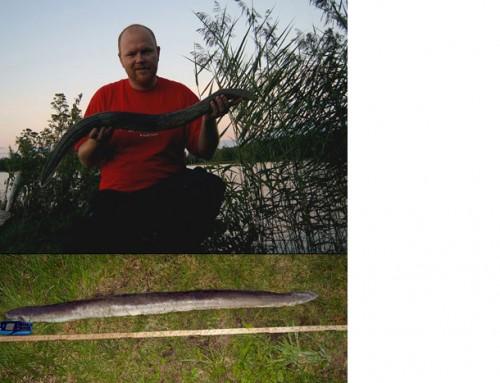 Äntligen en stor ål!