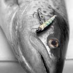 Finfiske på Vättern