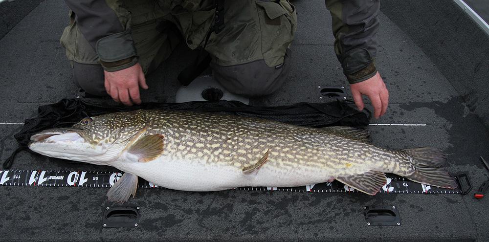 Gäddfiske när det är som bäst! En stabil fisk mäts innan den returneras