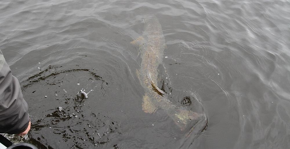 Gäddfiske när det är som bäst! Let them go - let them grow!