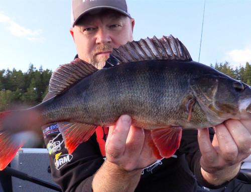 Höstabborre – ett actionfyllt fiske när man hittar rätt